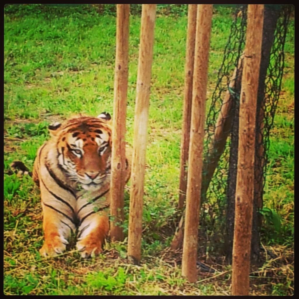 -3: gli occhi della tigre.
